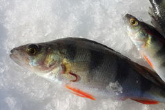 De bloedzuiger van vissen royalty-vrije stock foto