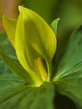 Gele Trillium royalty-vrije stock foto