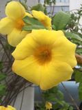 Gele Tropische Bloemen Royalty-vrije Stock Afbeeldingen