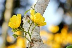 Gele tropische bloemen Stock Afbeeldingen