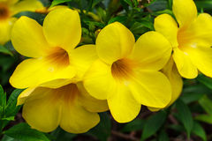 Gele tropische bloemen Royalty-vrije Stock Fotografie