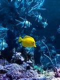 Gele tropische vissen in blauw Stock Foto
