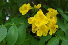 Gele trumpetbush Stock Afbeelding