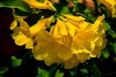 Gele trumpetbush nr 01 royalty-vrije stock foto