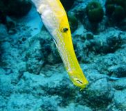 Gele Trumpetfish royalty-vrije stock afbeeldingen