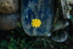 Gele tuinbloem Stock Afbeeldingen