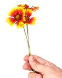 gele tuinbloemen in een hand Stock Afbeelding