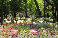 Gele Tulip Field Stock Foto