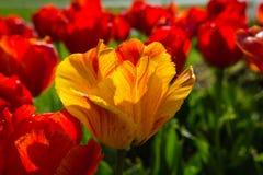 Gele Tulip Glowing in Avondlicht stock foto