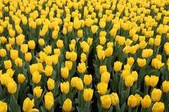 Gele Tulipa Gesneriana in Tuin Stock Afbeeldingen