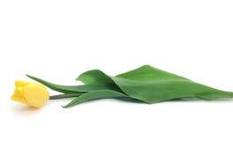 Gele tulp Royalty-vrije Stock Foto
