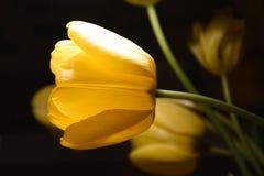 Gele tulp 2 stock afbeeldingen