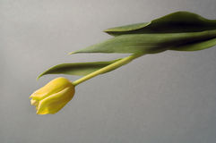 Gele tulp Royalty-vrije Stock Afbeelding