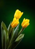 Gele tulp Stock Fotografie