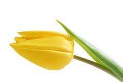Gele Tulp Stock Afbeeldingen