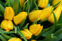 Gele tulp Stock Foto