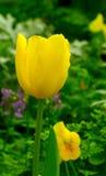 Gele Tulp in de Lente stock foto