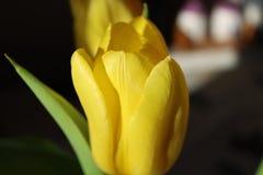 Gele tulp - Fotografie van aard royalty-vrije stock fotografie