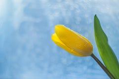 Gele tulp met een groen blad en een stam met dalingen van dauw op bloemblaadjes op een mooie blauwe achtergrond, bokeh stock fotografie