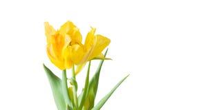 Gele Tulp met witte achtergrond stock foto's