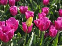Gele tulp op roze tulpengebied stock afbeelding