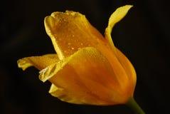 Gele tulp op zwarte achtergrond Royalty-vrije Stock Afbeeldingen