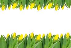 Gele tulp van het frame. Stock Afbeeldingen