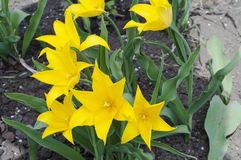 Gele tulpen royalty-vrije stock foto's