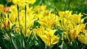Gele tulpen stock video