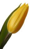 Gele tulpen. royalty-vrije stock fotografie