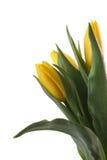 Gele tulpen. royalty-vrije stock afbeelding