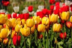 Gele tulpen stock afbeeldingen