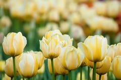 Gele tulpen Royalty-vrije Stock Afbeelding