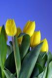 Gele tulpen in blauwe hemel Stock Afbeeldingen