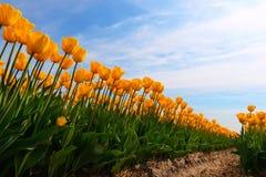 Gele tulpen in bulbfield royalty-vrije stock foto