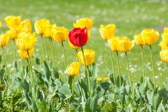 Gele tulpen in de tuin royalty-vrije stock foto