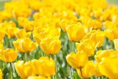 Gele tulpen in de tuin stock foto's