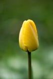 Gele Tulpen dichte omhooggaand stock foto