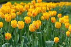 Gele tulpen in een gras Stock Afbeeldingen