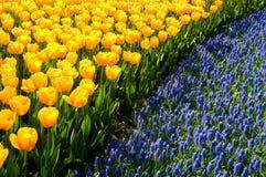Gele tulpen en gemeenschappelijke druivenhyacinten stock foto