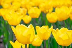 Gele tulpen met groene stammen, bloembed royalty-vrije stock foto