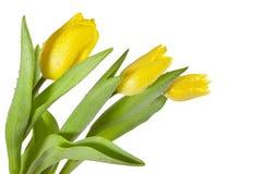 Gele tulpen met waterdalingen stock foto's