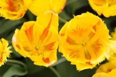 Gele tulpen op aardachtergrond royalty-vrije stock afbeeldingen