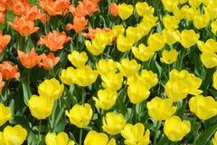 Gele tulpen op bloembed Royalty-vrije Stock Afbeelding