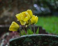 Gele tulpen op grafzerk Stock Foto