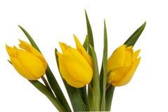 Gele tulpen op witte bac Royalty-vrije Stock Fotografie