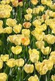 Gele tulpenachtergrond royalty-vrije stock foto