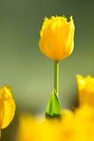 Gele tulpenbloem stock afbeeldingen