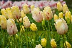 Gele tulpenbloemen Stock Foto's