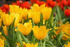 Gele tulpenbloemen Royalty-vrije Stock Afbeeldingen